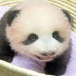 パンダの赤ちゃん、スクスクと… 名前も今月、決定!!